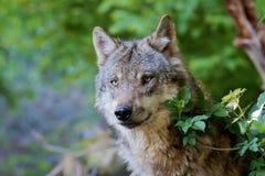 Серый волк - волчанка волка Стоковые Изображения RF