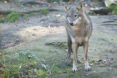 Серый волк в лесе стоковое фото rf