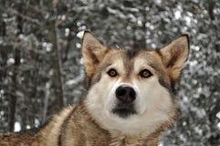 Серый волк в снежном лесе Стоковое Фото