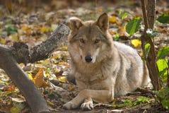 Серый волк лежа в лесе Стоковые Фотографии RF