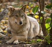 Серый волк лежа в лесе Стоковые Изображения RF
