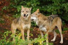 Серый волк или серый волк, волчанка волка стоковое фото rf