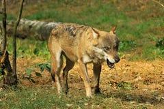 Серый волк или серый волк, волчанка волка Стоковое Фото