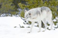 Серый волк тимберса в лесе зимы Стоковые Фотографии RF