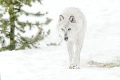 Серый волк тимберса в лесе зимы Стоковое Изображение RF