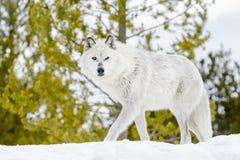 Серый волк тимберса в лесе зимы Стоковая Фотография RF