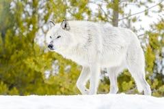 Серый волк тимберса в лесе зимы Стоковое фото RF