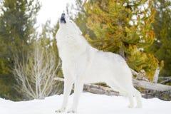 Серый волк тимберса в зиме, завывающ, низкий угол Стоковые Фотографии RF