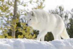 Серый волк тимберса в зиме, низком угле Стоковая Фотография