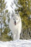 Серый волк тимберса в зиме, низком угле Стоковое Изображение