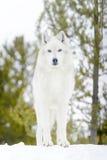 Серый волк тимберса в зиме, смотря угол камеры низкий Стоковое Изображение RF