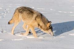 Серый волк & x28; Lupus& x29 волка; Вдохи к праву в снеге Стоковое Фото