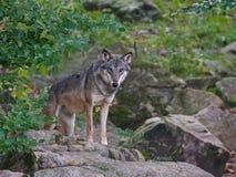 Серый волк & x28; Lupus& x29 волка; Стоковая Фотография RF