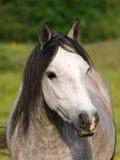 Серый выстрел в голову пони Стоковые Фотографии RF