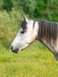 Серый выстрел в голову пони Стоковое Изображение RF