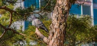 Серый голубь садить на насест на ветви дерева Стоковая Фотография RF