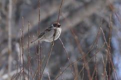 Серый голубь с зеленой грудью и красными ногами в снеге Стоковые Фотографии RF
