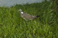 Серый голубь на зеленой траве Стоковое фото RF