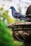 Серый голубь Стоковые Фото