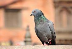 Серый голубь Стоковая Фотография RF