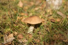 Серый гриб в glade леса Стоковые Изображения RF