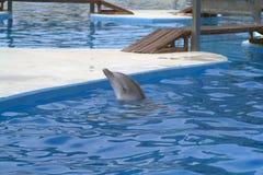 Серый дельфин в голубом бассейне Стоковое Фото
