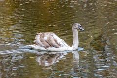 Серый лебедь на воде стоковые фотографии rf