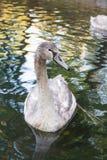 Серый лебедь стоковое фото rf