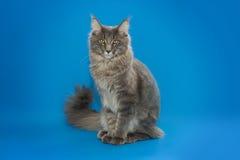 Серый енот Мейна сидит на голубой предпосылке Стоковые Фото