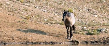 Серый жеребец на waterhole в ряде дикой лошади гор Pryor на государственной границе Вайоминга Монтаны - США дикой лошади Grulla Стоковое Изображение RF