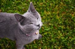 Серый жмуриться кота, смотря вверх, предпосылка травы Стоковая Фотография