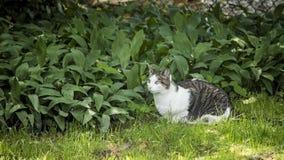 Серый и белый кот кладя на зеленую траву смотря прочь стоковые изображения rf