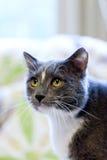 Серый и белый кот с желтым цветом наблюдает смотреть вверх Стоковые Изображения