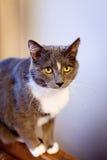 Серый и белый кот с желтым цветом наблюдает смотрящ камеру Стоковые Фотографии RF