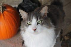 Серый и белый кот с тыквой Стоковое Фото