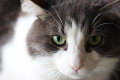 Серый и белый кот Стоковые Изображения RF