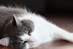 Серый и белый кот стоковые изображения