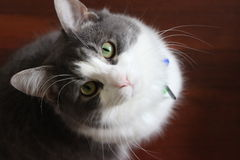 Серый и белый кот стоковое изображение rf