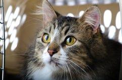 Серый и белый кот Tabby кладя в псарню стоковое изображение