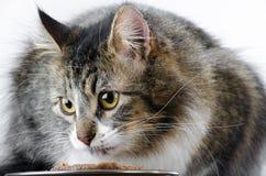 Серый и белый кот Tabby на белой предпосылке есть еду стоковая фотография