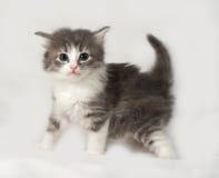 Серый и белый пушистый котенок стоя на сером цвете стоковые изображения rf