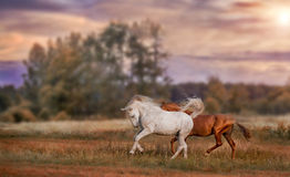 Серый и красный бежать жеребцов стоковое изображение rf