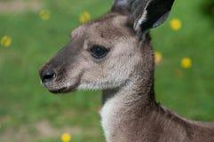 серый кенгуру западный Стоковое Изображение RF