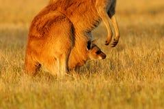 серый кенгуру западный Стоковое Фото