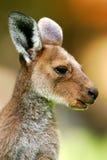 серый кенгуру западный Стоковые Изображения