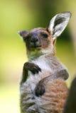 серый кенгуру западный Стоковая Фотография RF