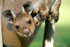серый кенгуру западный Стоковые Фотографии RF