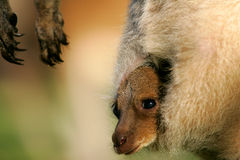 серый кенгуру западный Стоковое фото RF