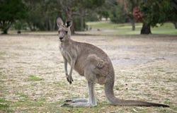 серый кенгуру западный Стоковая Фотография