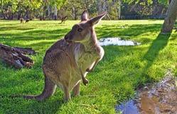 серый кенгуру западный Стоковые Фото